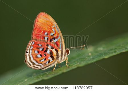 Red Harlequin Butterfly