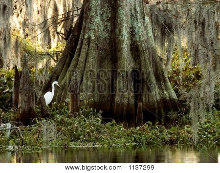 Egret And Cyrpess