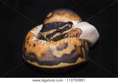 Piedbald Ball Python