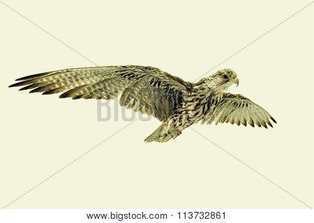 Saker Falcon in flight