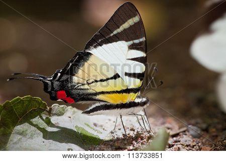 Kinabalu Swordtail Butterfly