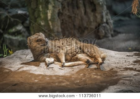 Yellow Mongoose Warming Up Under The Sun, Closeup