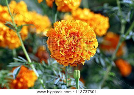 Flowers Of Bright Orange Marigolds