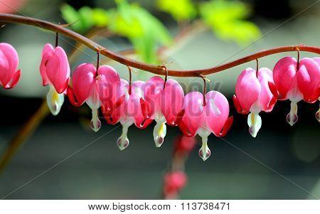 Beautiful flower a broken heart ( heart of Jeannette,bleeding heart, lamprocapnos)