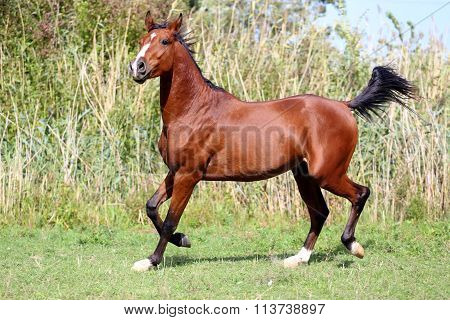 Beautiful Arabian Breed Horse Running On The Field