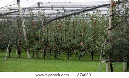 Apple Garden Full Of Apples