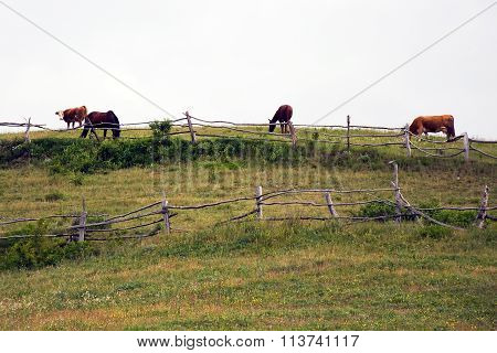 Cows and horses on pasture in Romanian Banat