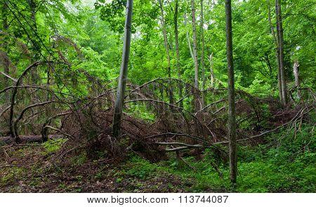 Broken Dead Spruce Tree Lying Among Hornbeam