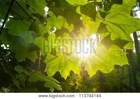 Sunbeams Breaking Through Clouds And Light Up Maple Leaves