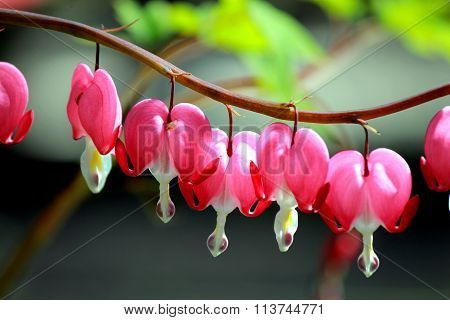 Flower a Broken heart(heart of Jeannette,bleeding heart,lamprocapnos spectabilis Dicentra).