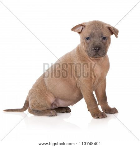 fawn thai ridgeback puppy