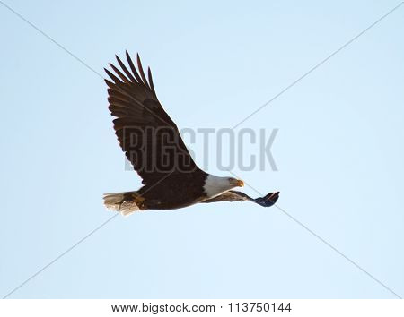 Bald Eagle Soaring over the lake