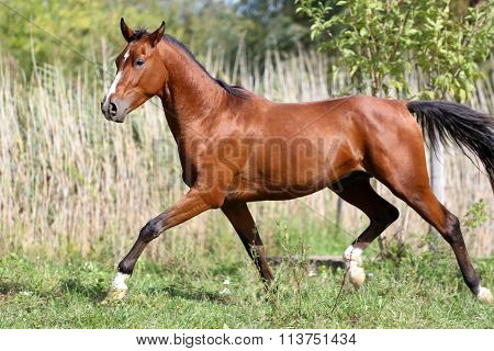 Beautiful Young Arabian Stallion Galloping On Pasture Summertime