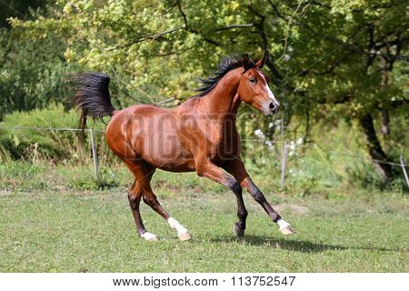 Side View Shot Of A Galloping Young Arabian  Stallion On Pasture