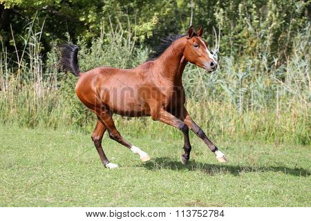 Arabian Breed Horse Galloping On Pasture Against Green Reed