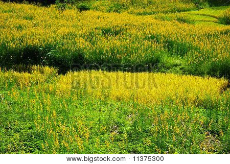 Grass Field Is Yellow.
