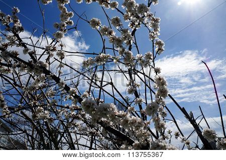 Nanking Cherry Blossoms