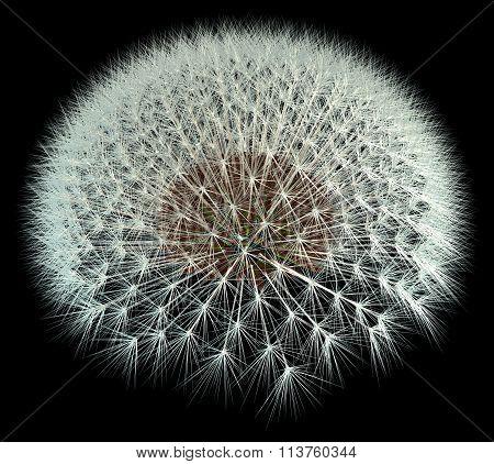 3D Dandelion Seeds, Black Background Fibonacci Pattern