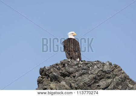 Bald Eagle On A Rocky Island