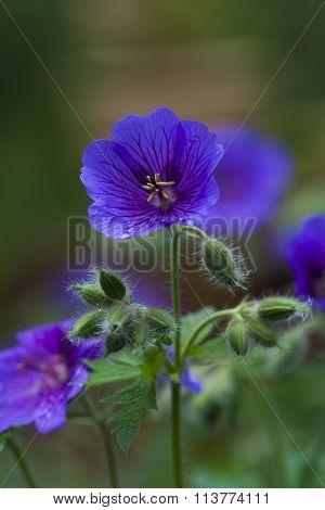 woodland geranium