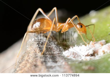 Ant Gathering Honeydew From A Aphids And Care In Return.
