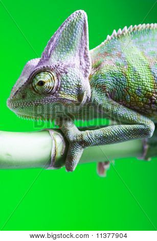 Chameleon on the leaf