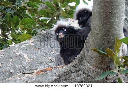Two Dusky Leaf Monkeys
