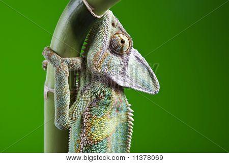 Lizard families