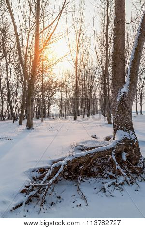 Winter Landscape With Snow On Tree Roots