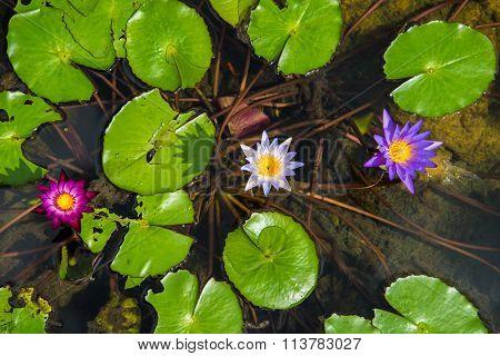 Lotus In The Basin