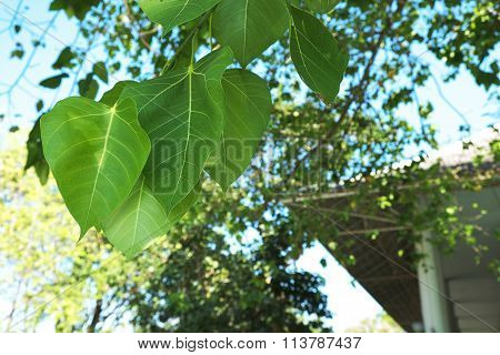 Closeup of leaves of Sacred Fig Tree or Pipal Tree or Bohhi Tree or Bo Tree or Peepul with sunlight
