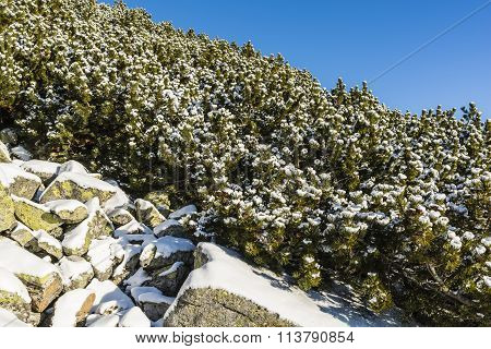 Mountain Pine Sprinkled With Snow.