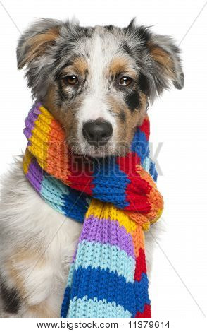 Australian Shepherd Puppy Wearing A Scarf, 5 Months Old, In Front Of White Background