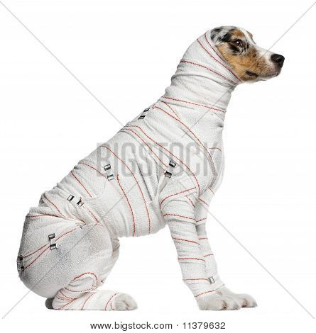 Australian Shepherd Puppy In Bandages, 5 Months Old, Sitting In Front Of White Background