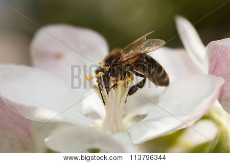Bee Drinking Nectar On Apple Flower