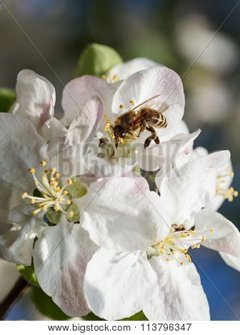 Bee Collects Pollen And Nectar On Apple Tree