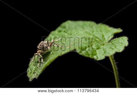 Black Vine Weevil En Face