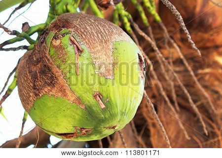 Closeup of fresh coconut on the tree
