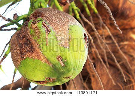 Closeup of fresh coconut on the tree
