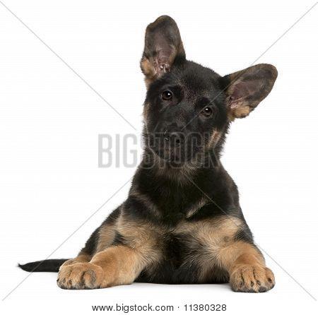 Cachorro de perro de Pastor Alemán (3 meses de edad)