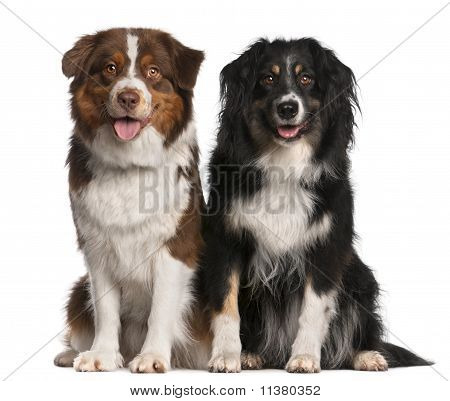 Australian Shepherd Dogs, 3 Years Old And 18 Months Old, Sitting In Front Of White Background