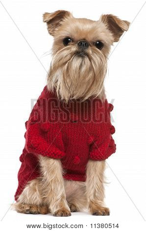 Griffon Bruxellois in red sweater (3,5 Years Old)