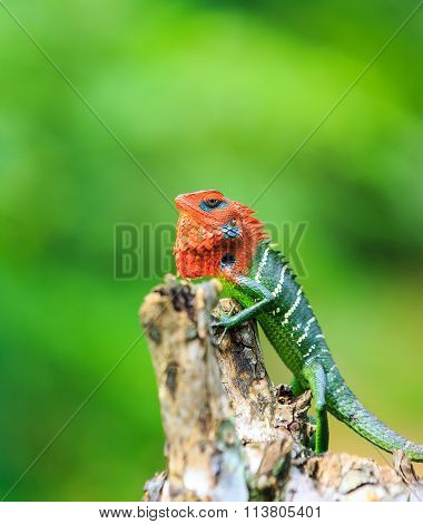 Chameleon With Red Head And Green Body