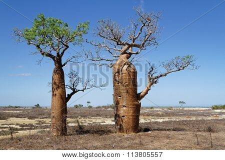 Two Baobabs