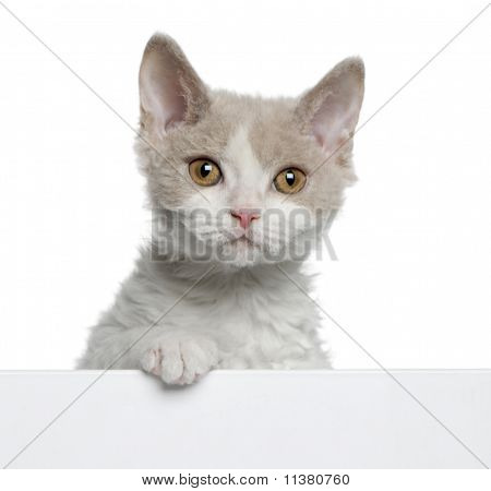 Selkirk Rex Kitten (11 Weeks Old)