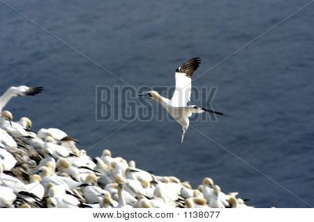 Northern Gannet, Landing