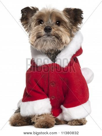 Yorkshire Terrier (9 Years Old)