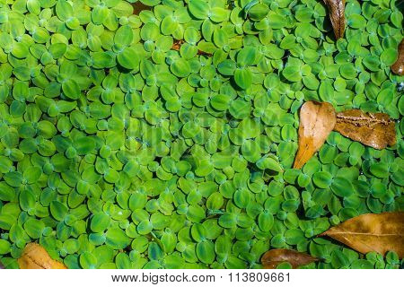 Duckweeds