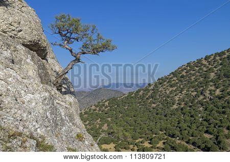 Relic Pine Against A Cloudless Sky. Crimea.