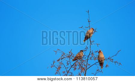 flock of waxwings on a background of blue sky